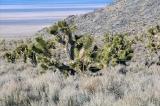 Nevada - Fields of Joshua Tree