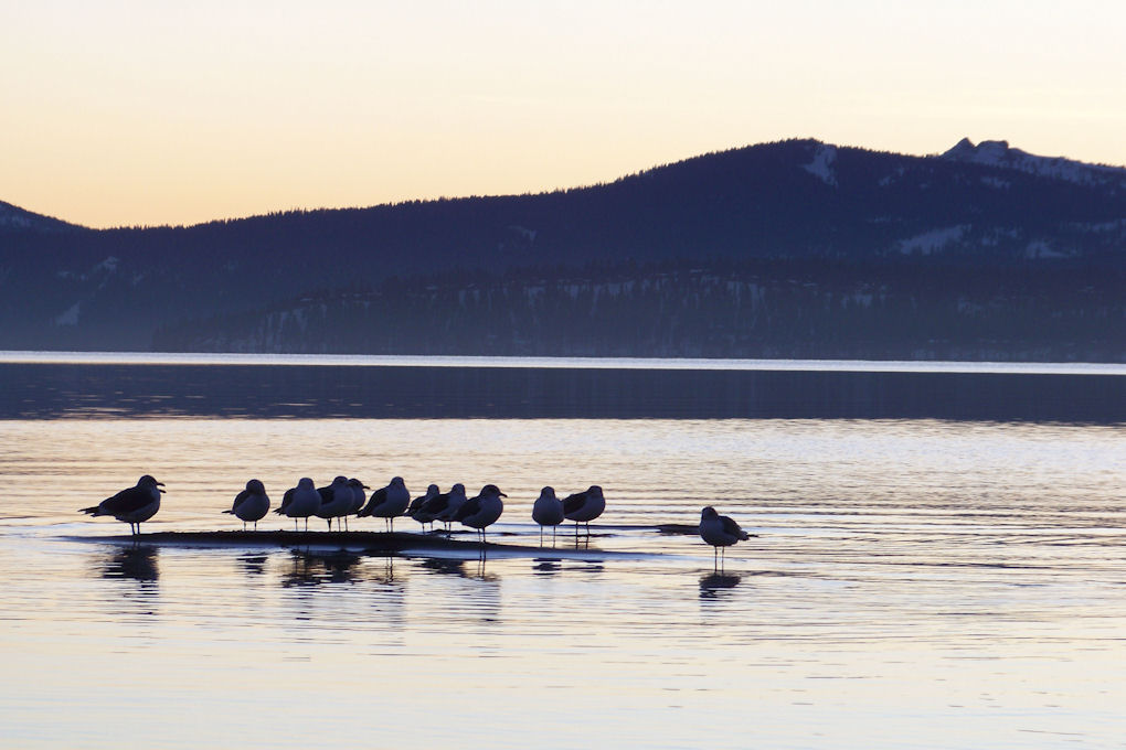 Tahoe - Gulls on lake