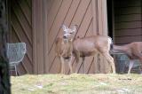Yosemite - deer on the hunt around Yosemite Lodge