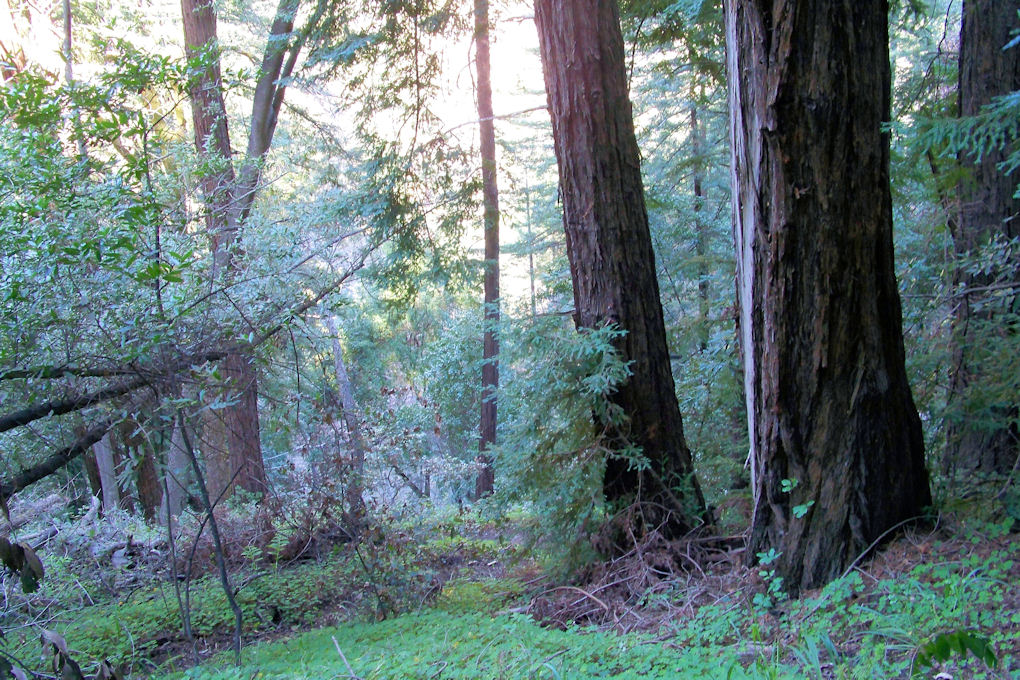Central Coast - Redwood Forest on Buzzard Roost trail