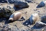 Central Coast - Elephant Seals hard at work